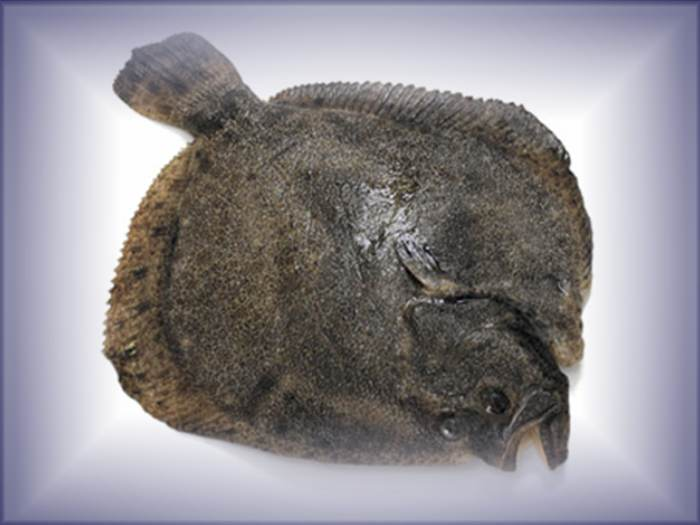 Turbot for Turbot fish price